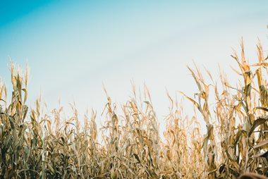 שדה תירס