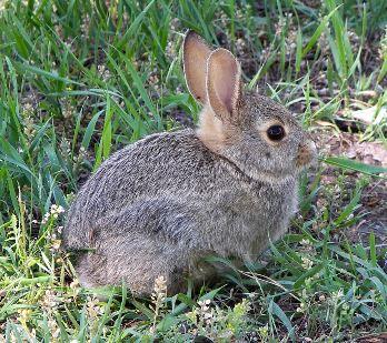 rabbit1_larry_d_moore
